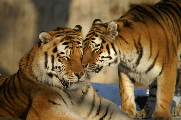 Nice_Couple_of_Tigers_600