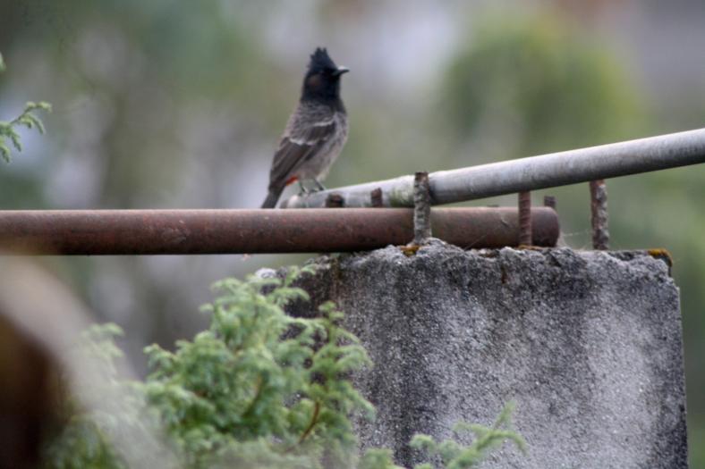 Mysterious himalayan bird